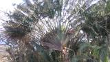 drzewo-podroznicze-ravinala